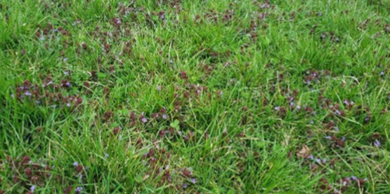 close up image of a lawn with weeds
