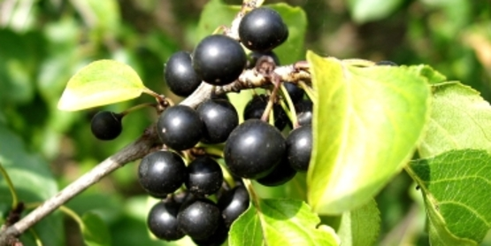 Common Buckthorn Fruit