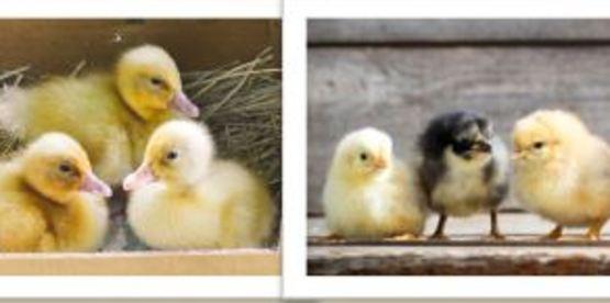 Poultry 101 Webinar