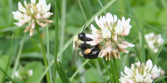 Carpenter bees on flowers