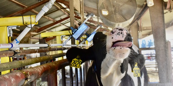 Cornell Cooperative Extension Specialists and the PRO-DAIRY Program will present free heat stress webinars on July 21st and 22nd, 2020 in English and Spanish.