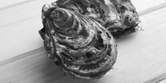oyster, spat
