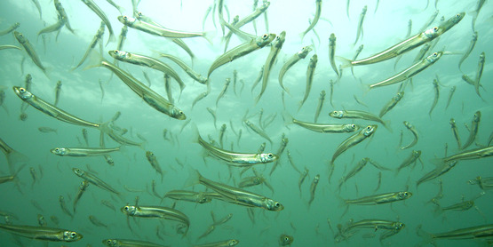Atlantic silversides.