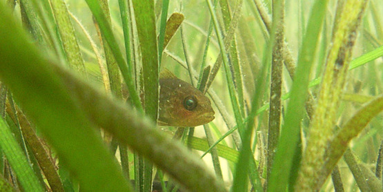 Juvenile fish seek refuge from predators in eelgrass meadows.