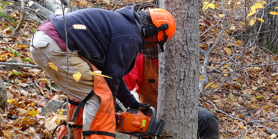 Logger Training. Cutting a tree.