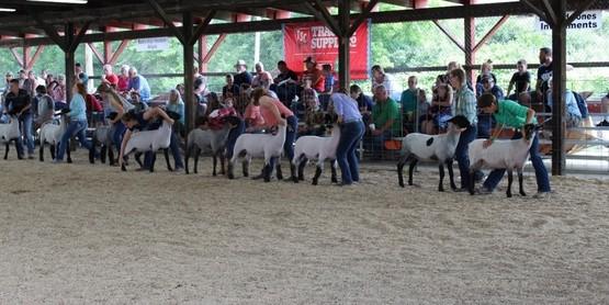 4-H members show sheep during the 2019 Chautauqua County Fair