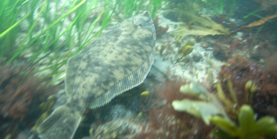 A winter flounder swims through a Long Island Sound eelgrass meadow.