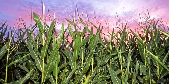 A field of corn grows on Dec. 23, 2011. Photo by Regis Lefebure, USDA. k5660-3