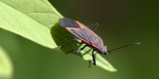 New York state Boxelder Bug
