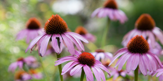 Flowers in Minns Garden, Cornell Campus.  Echinacea.  Cornell University Photography.