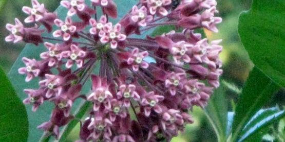 milkweed blossom