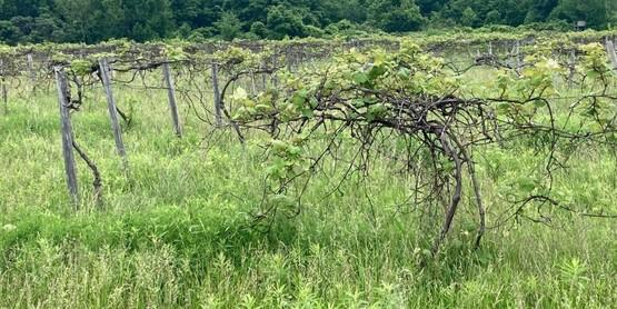 Vineyard Improvement Program – Now is the time!