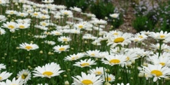 DaisyLeucanthemum 'Becky'