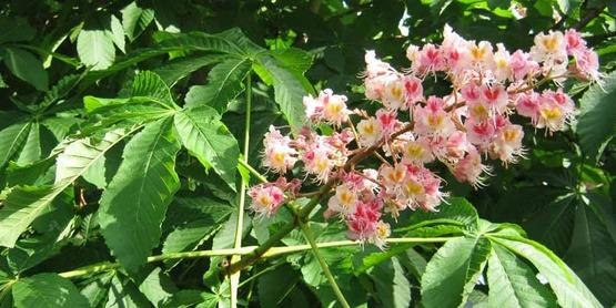 Horsechestnut in bloom; either common or European horsechestnut