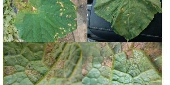 Cucumber plant photos taken by Cornell Vegetable Specialist Elizabeth Buck.