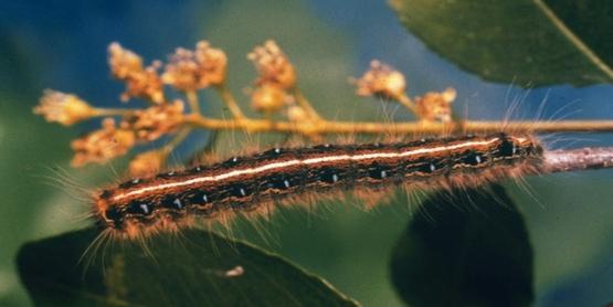 Larva eastern tent caterpillar  Malacosoma americanum (Fabricius) Genus: Malacosoma Family: Lasiocampidae Order: Lepidoptera Class: Hexapoda (including Insecta)