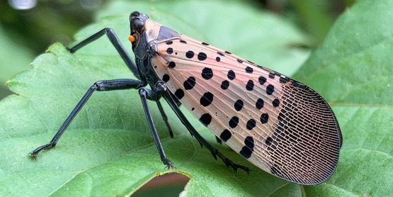 Spotted Lanternfly infestations are present in New York State