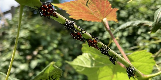 Spotted Lanternfly enjoys swarming on plants
