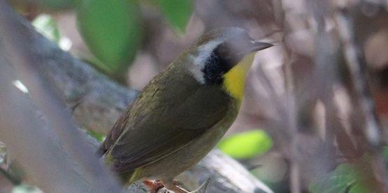 Common yellow throat bird