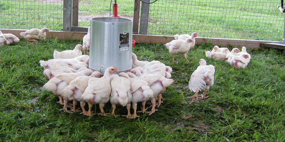 Pastured poultry at Quinn's Irish Hill Farm, Freeville NY