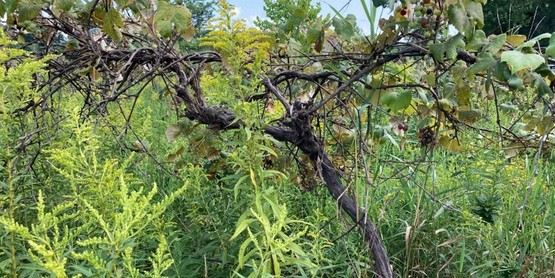 Vine in abandoned Concord vineyard just starting veraison (ripening of the berries and color change)