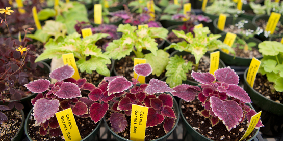 Coleus in a greenhouse