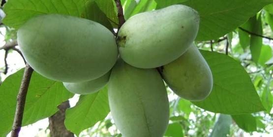 Paw-paw fruits