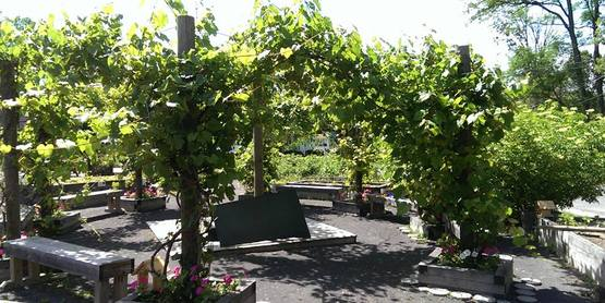 Different varieties of grapes grow in the center of the CCE Teaching Garden