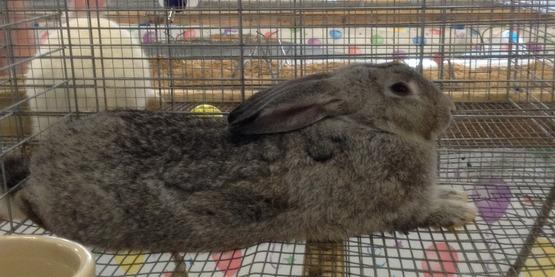 Meat Rabbit
