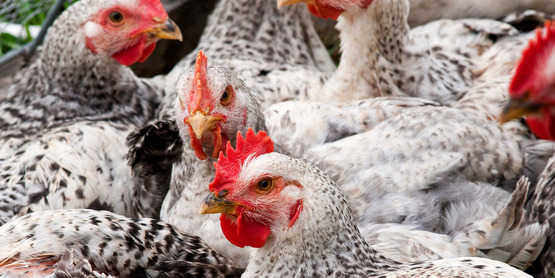 Poultry is just one of the areas where we provide resources and support!