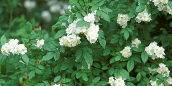 Multiflora Rose flower