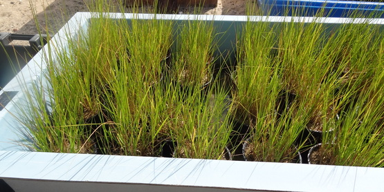 Spartina alterniflora being propegated at SCMELC in Southold.