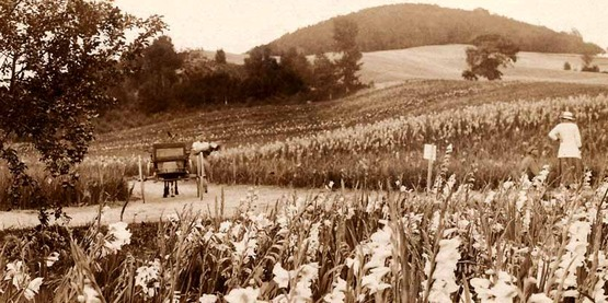 Cowee's gladiola fields in Berlin, NY 1908 from a vintage post card