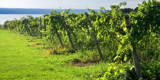 The vineyards at Swedish Hill Winery in Seneca Falls, NY (Cornell University Photography). winery, vineyard