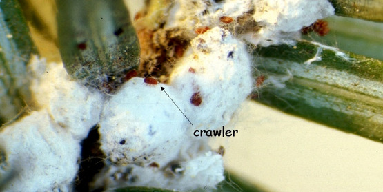 hemlock wooly adelgid, photo by Pennsylvania Department of Conservation and Natural Resources - Forestry Archive, Bugwood.org