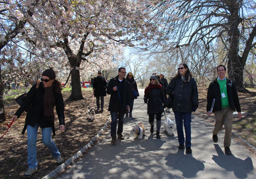 people walking dogs by cherry tree blossoms