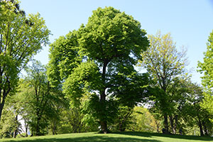 Elm tree in Central Park