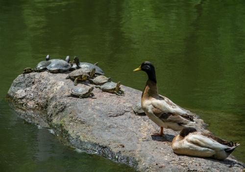 duck on rocks in water