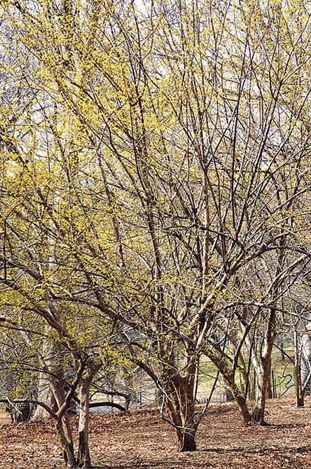 Cornelian Cherry Tree