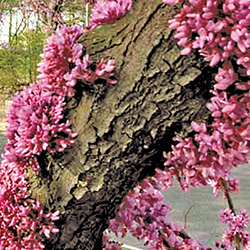 Eastern redbud the official website of central park nyc bark mightylinksfo