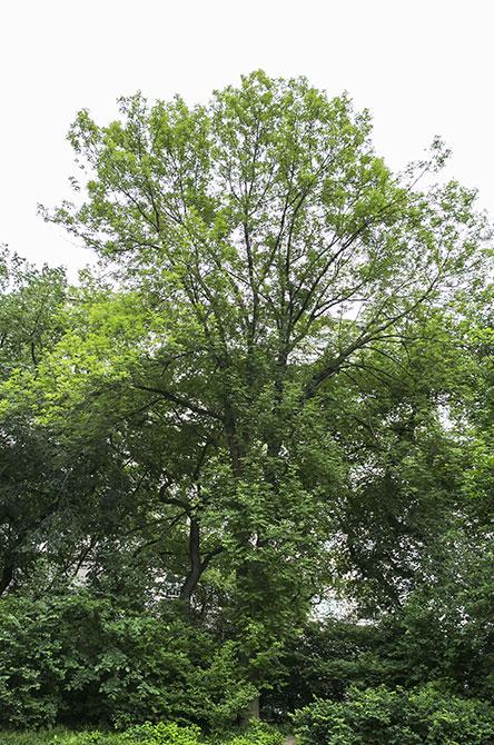 European Ash Tree