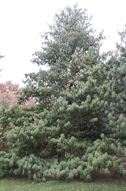 Himalayan Pine Tree