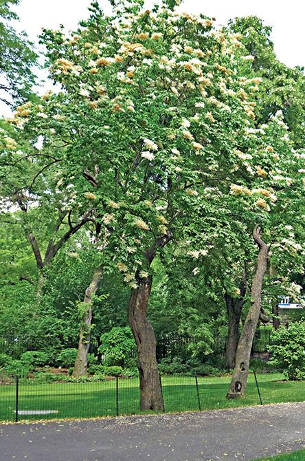 Japanese Tree Lilac Tree