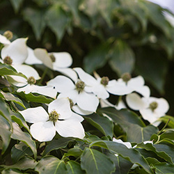 Kousa Dogwood The Official Website Of Central Park Nyc