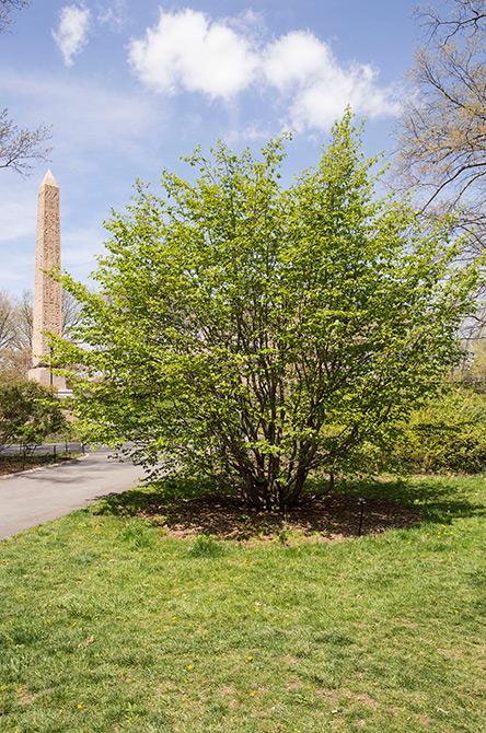 Persian Parrotia Tree