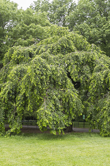 Weeping Cherry Higan Tree