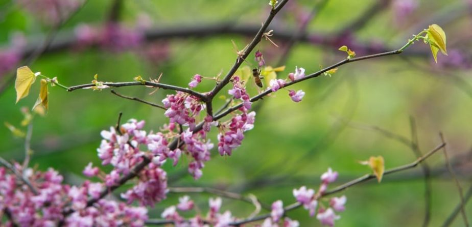 Spring buds signal spring in Central Park