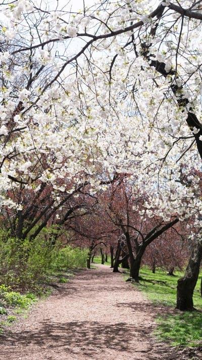 A corridor of cherry blossoms
