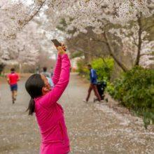 A parkgoer photographs cherry blossoms