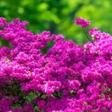 Lush purple azaleas in spring sunshine